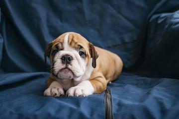 Female puppy of the english bulldog.selective focus