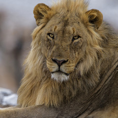 Printed roller blinds Lion Portrait of a male lion in Etosha National Park in Namibia