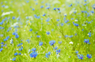 Flowers field Background with Blue Cornflowers
