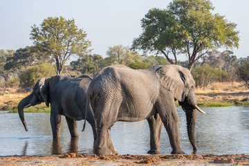 African elephant  in natural Botswana, South Africa ,Kenya