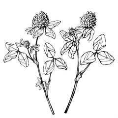 Set of wild plant clover flowers (also called Trifolium pratense, trefoil, shamrock). Black and white outline illustration hand drawn work isolated on white background.