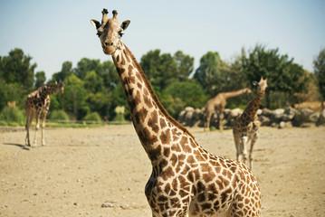 Four Giraffes in a zoo.