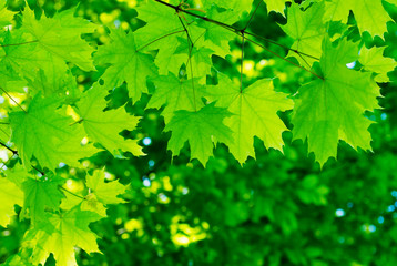 green leaves on the summer forest