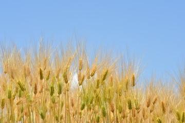 麦畑の大麦