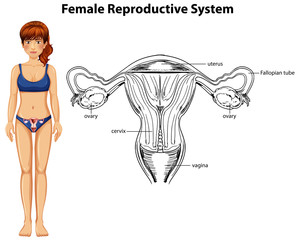Human Anatomy of Female Reproductive System