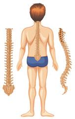 Human Anatomy of Spine on White Background