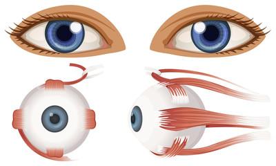Human Anatomy of Eyeball
