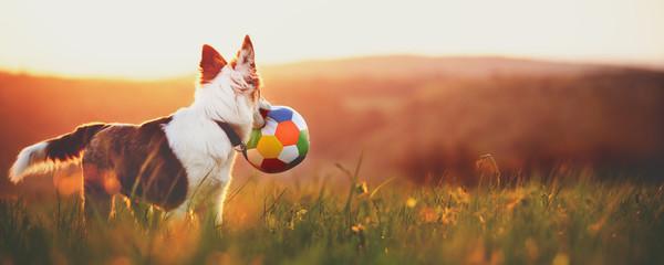 Süßer Hund Mischling mit Ball im Mund bei Sonnenaufgang, Panorama
