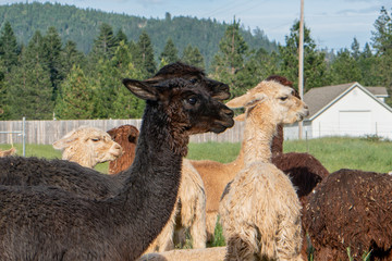 Alpacas on a farm in Southern Oregon