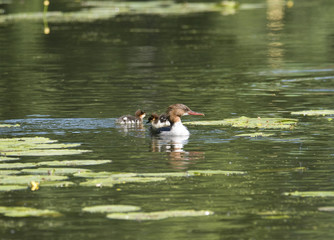 Meganser with chicks in a pond at Drottningholm, Stockholm