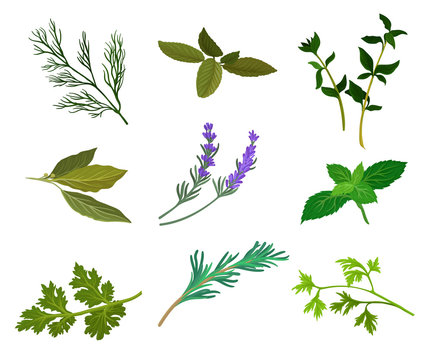 Flat vector set of popular culinary and medicinal herbs. Ingredients for flavoring dishes. Aromatic plants