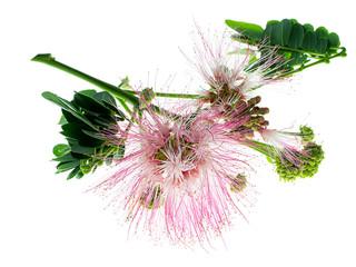 Close up of Samanea saman plant.