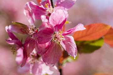 Macro of cherry tree pink flower