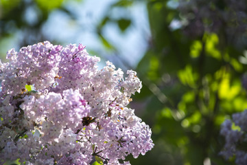 Close up on white and lila lilac flower