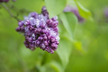 Beautiful fresh purple lilac flower