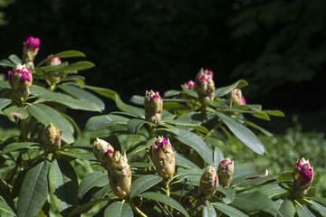 Rhododendron full of buds ready to bloom