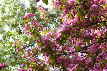 Blooming of decorative apple tree. Malus Niedzwetzkyana. Branches with beautiful pink flowers. Spring garden.