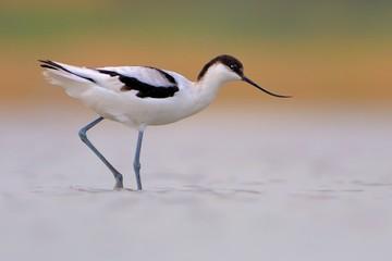 Pied Avocet - Recurvirostra avosetta on the lake on migration Wall mural