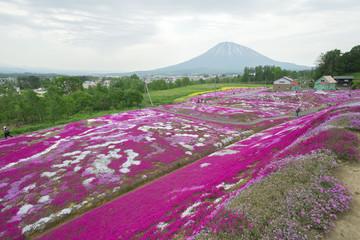 北海道ニセコの美しい芝桜