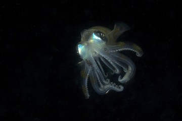 Bigfin reef squid or oval squid (Sepioteuthis lessoniana) in night time. Picture was taken in Anilao, Philippines
