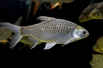 Fish : Red tailed tinfoil barb (Barbonymus altus)