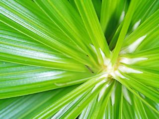 Closeup Umbrella Sedge or Cyperus alternifolius