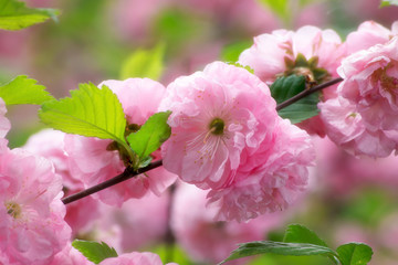 Wall Mural - Mysterious spring floral background with blooming pink sakura flowers
