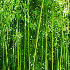 Bamboo grove. Bright green slender trunks