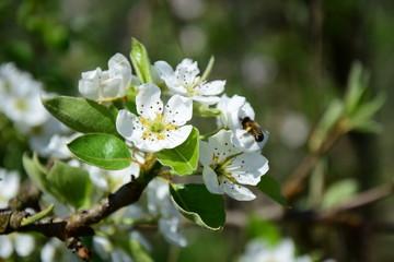 Blüten eines Birnbaumes