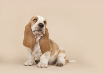 Cute sitting basset hound puppy on a creme background looking up