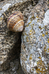 Close-up of a snail sleeping in shell on a natural stone surface