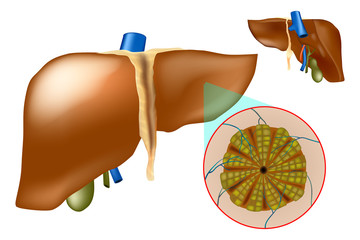 Microscopic anatomy of the liver - hepatic lobules. The medical structure of the liver.