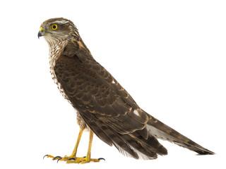 falcon isolated Fototapete