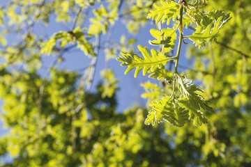 Oak tree foliage in spring