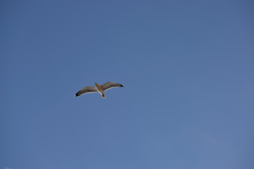 White seagull flying freely in a blue sky