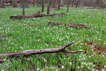 A colony of White Trout Lilies