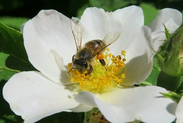 Bee on a rosehips flower