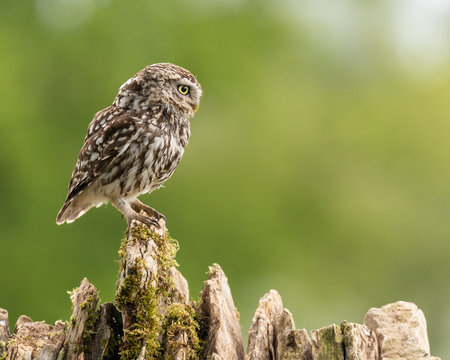Little Owl (Athene noctua) perched on dry stone wall