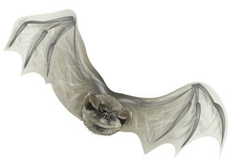 bat isolated on white