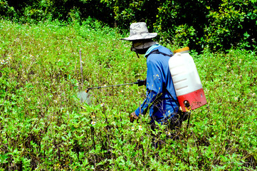 Farmers spray herbicides in the garden.