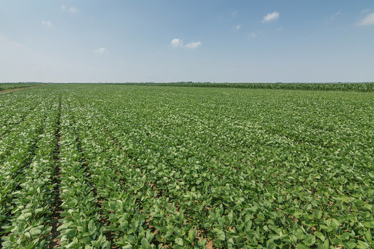 Green ripening soybean field. Rows of green soybeans. Soy plantation.