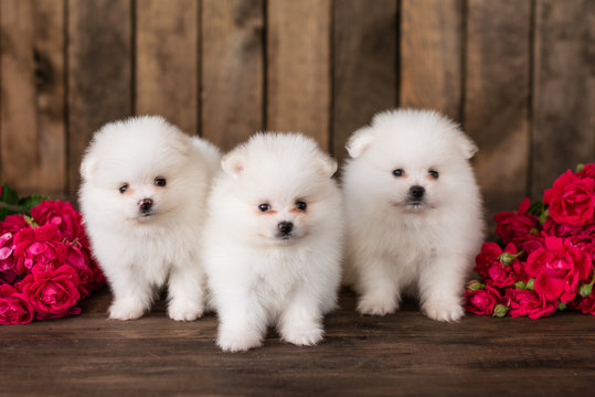 Little Pomeranian spitz-dogpuppy.It can be used as a background