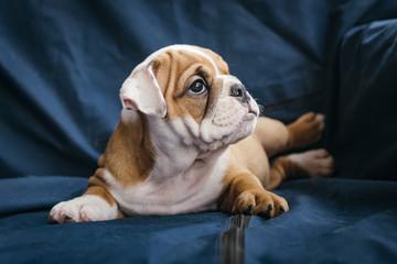 Portrait of cute english bulldog puppy,selective focus