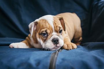 Playful puppy of the english bulldog,selective focus