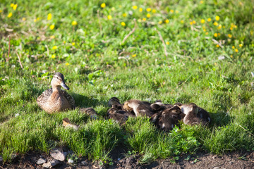 Duck with many ducklings on shore of pond