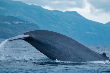 The rear third of a blue whale from dorsal fin to tail flukes