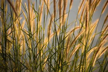 Rim light of golden grass