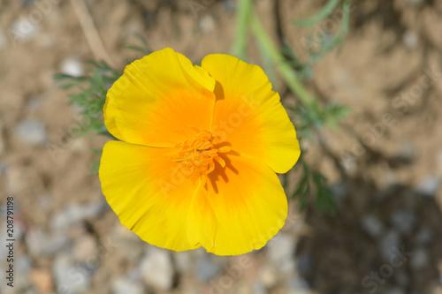 Golden poppy flower stock photo and royalty free images on fotolia golden poppy flower mightylinksfo