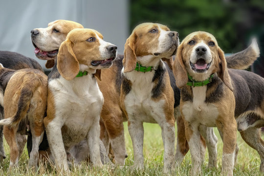 meute de beagles