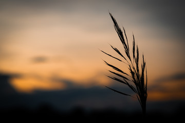 silhouette Kans grass , Saccharum spontaneum in the wind